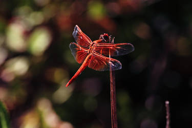Red Dragonfly by DoomWillFindYou