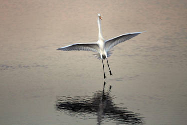 Great Egret by DoomWillFindYou
