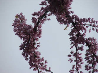 REDBUD BLOOMS by sunmoongirl