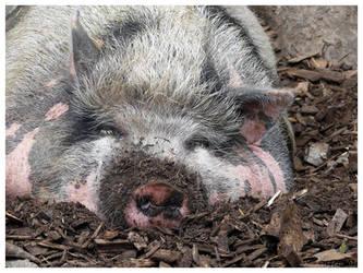Sleeping pig by Dreamk8