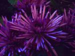 Purple Passion by Liasmani