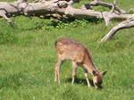 Cute little deer by Holsmetree