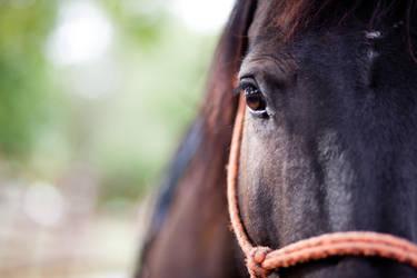 Nicole's Horse by panderbear
