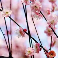 plum blossom by JunJun510