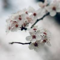 Prunus cerasifera by JunJun510