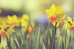 Yellow Daffodil by JunJun510