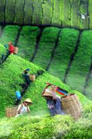 Tea Plantation by SAMLIM