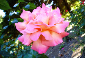 Rose by PSNick