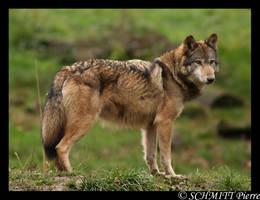 European wolf by Kiba67
