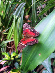 Red butterfly by Euselia