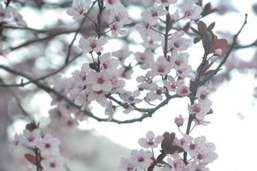 Cherry Blossoms2 by ButtercupRocks99