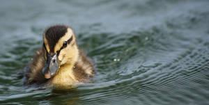 Duckling by ShAzZa-UK