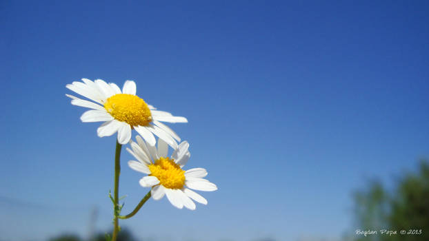 Two flowers in the Sun! by bogdanpopa