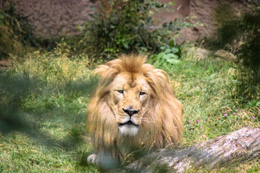 Majestic Lion through the Brush by alucard214