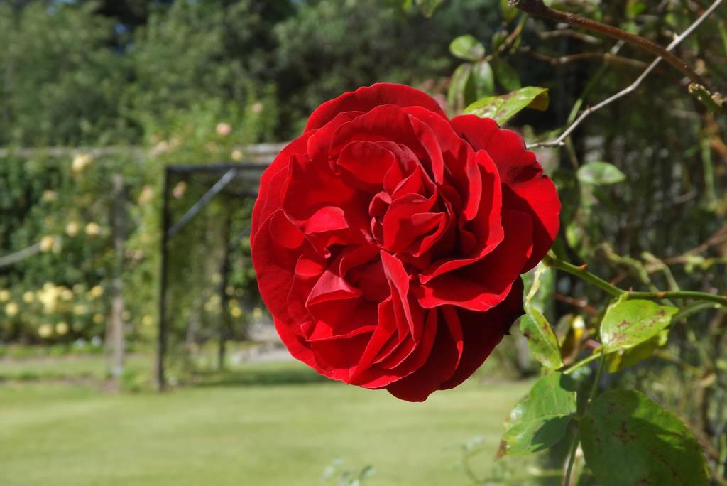 Red Rose. by LumpySpacePrincess11