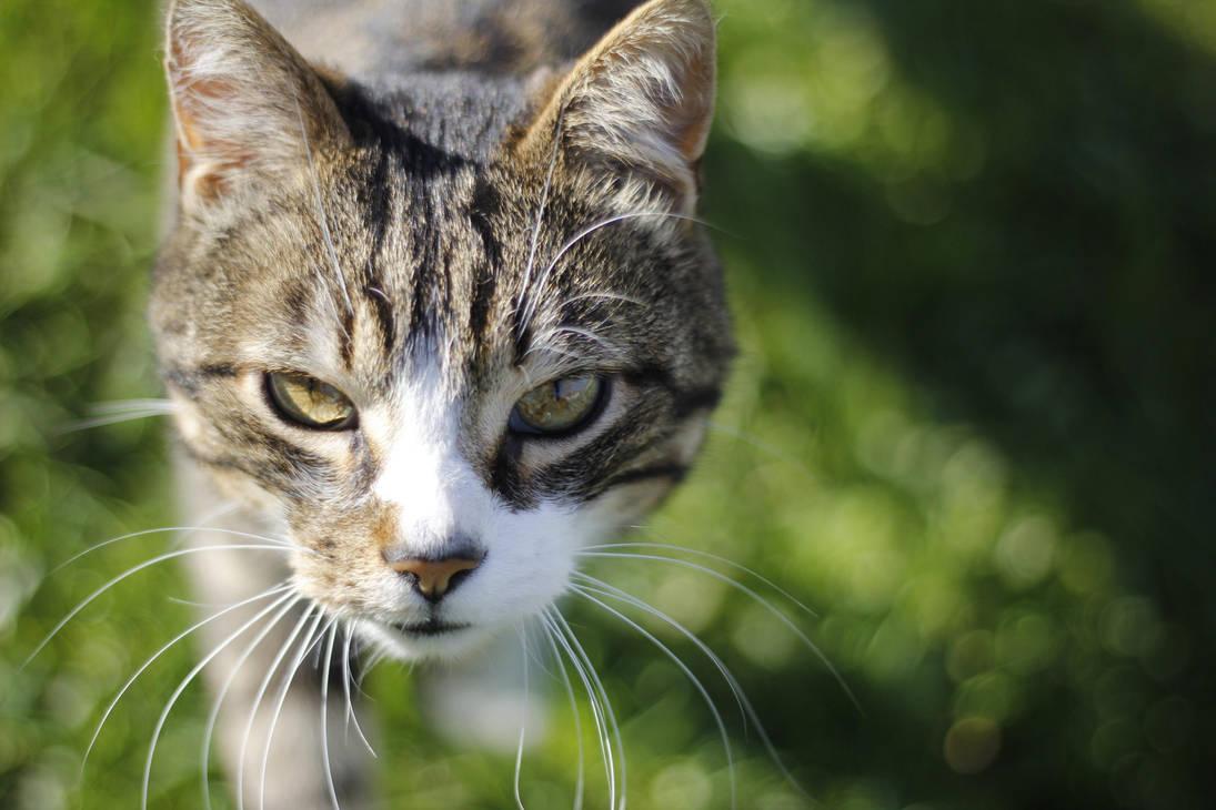 Cat by Kalabint