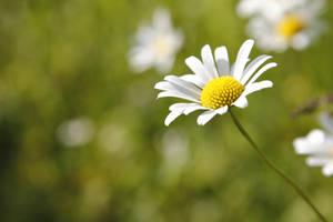 Flowers by Kalabint