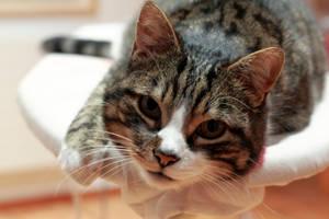 Cat looking by Kalabint