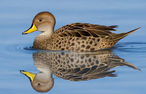 Yellow-billed (Brown) pintail by uialwen
