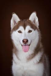 Husky Portrait by DeingeL-Dog-Stock