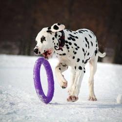 Dalmatian Puppy by DeingeL-Dog-Stock