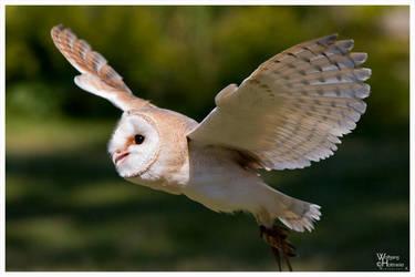 Flyin Barn Owl I by W0LLE