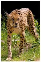 Cheetah III by W0LLE
