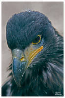 Young Bald Eagle Portrait by W0LLE