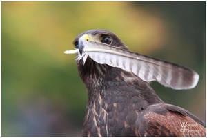 Harris Hawk vs. Falcon Feather by W0LLE