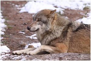 Winter - 05 Grey Wolf by W0LLE