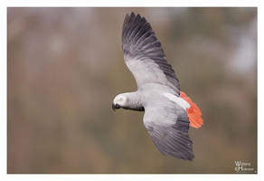 Fly - African Grey by W0LLE