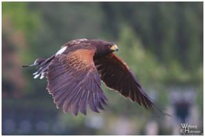 The Flight of the Harris Hawk by W0LLE