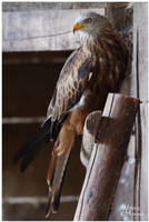 Red Kite I by W0LLE