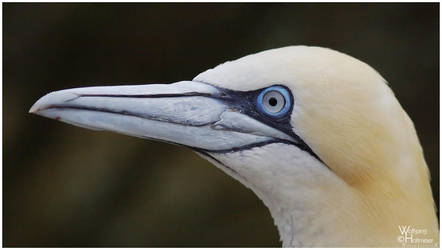 Northern Gannet 2009-2 by W0LLE