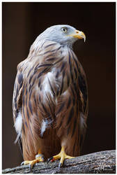 Red Kite Posing by W0LLE