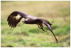 2010-70 Golden Eagle at Flight by W0LLE