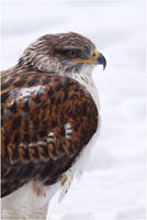 2010-100 Buteo regalis I by W0LLE