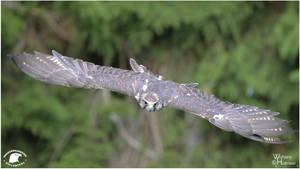 2011-64 Saker Falcon by W0LLE