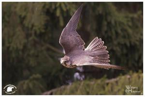 2013-81 Saker Falcon by W0LLE