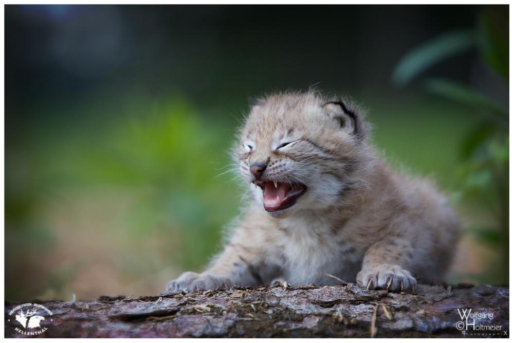 2013-89 Little Lynx by W0LLE