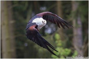 2016-21 African Fish Eagle by W0LLE