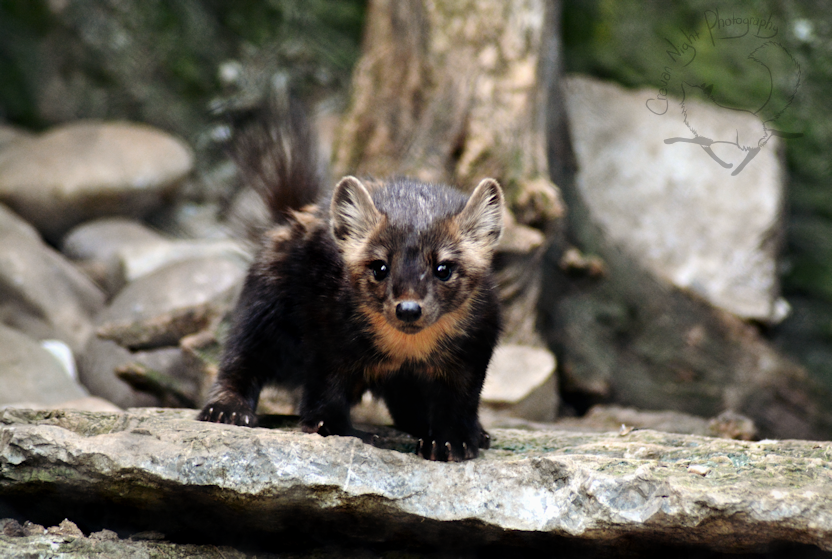 Curious Marten by Jaded-Night