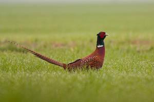 Pheasant by JMrocek