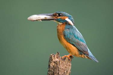 Common kingfisher - male by JMrocek
