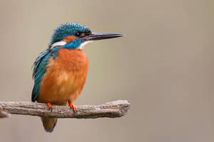 Kingfisher by JMrocek