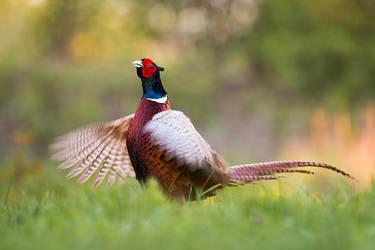 Lekking pheasant by JMrocek
