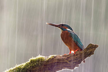Kingfisher in the rain by JMrocek