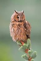Long eared owl by JMrocek
