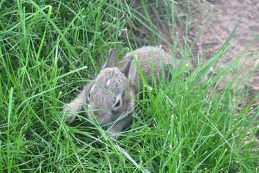 Baby Bunny by myacidtears