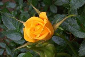 Deep Yellow Rose by time-warrior